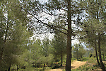 Israel, Jerusalem mountains, Pine trees on Mount Heret