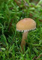 Amiant-Körnchenschirmling, Cystoderma amianthinum, Cystoderma amiantinum, saffron parasol, saffron powder-cap, searthy powder-cap