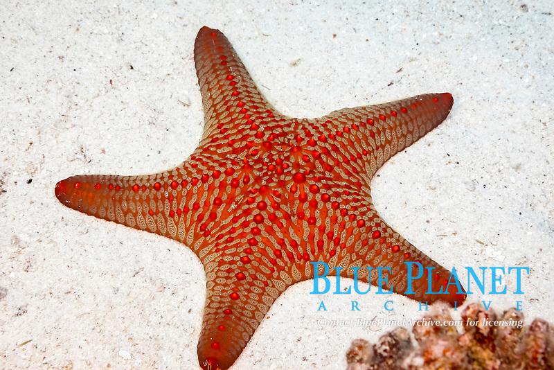 knobby Star, Panamic cushion star, or Cortez starfish, Pentaceraster cumingi, Hawaii, USA, Pacific Ocean