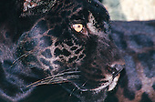 Amazon, Brazil. Black Jaguar (panther); 'Onca preta'; Panthera onca. Black variant on the more common Onca pintada.
