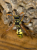 0621-1105  European Paper Wasp on Paper-like Nest, Invasive Species in North America, Polistes dominula (Polistes dominulus)  © David Kuhn/Dwight Kuhn Photography