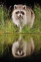 Northern Raccoon (Procyon lotor), adult at night at wetland lake, Fennessey Ranch, Refugio, Coastal Bend, Texas Coast, USA
