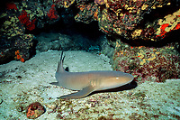 nurse shark, Ginglymostoma cirratum, Flower Gardens, Gulf of Mexico, Atlantic Ocean