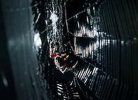 Spider spinning web in Australia.