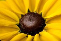 Close-up Rudbeckia flower