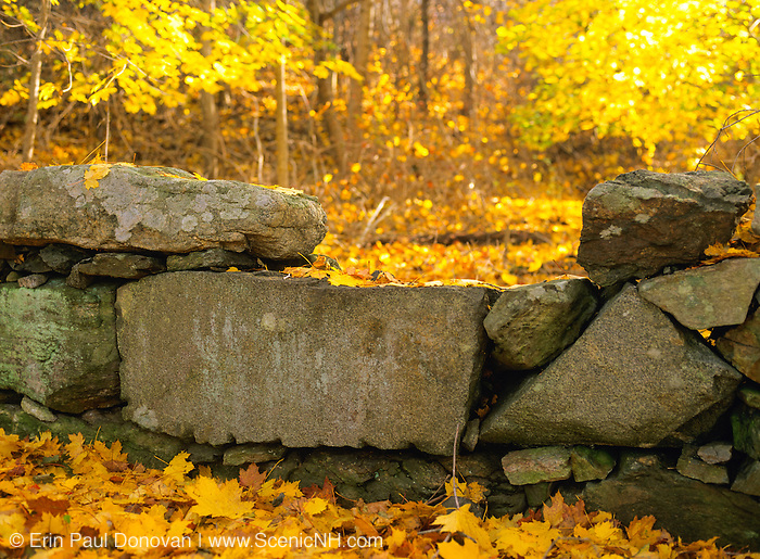 Stone wall surrounded by autumn foliage in a New Hampshire USA forest during the autumn season.
