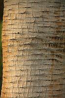 Le Domaine du Rayol:<br /> dans le jardin des Canaries, dragonnier (Dracaena draco), détail de la tige (stipe) et ses motifs de cicatrices foliaires.