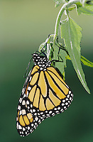 Monarch, Danaus plexippus, adult newly emerged from pupa , Willacy County, Rio Grande Valley, Texas, USA, April 2004