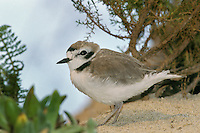 B6596  Snowy Plover.  California Coast.
