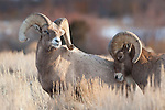 A bighorn sheep ram tries to assert dominance over another during the rut in Dubois, Wyoming.