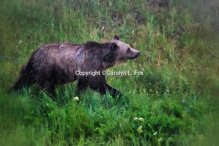 A bear walk in Yellowstone.