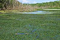 American Alligator (Alligator mississippiensis) in wetlands marsh, Bayou Sauvage National Wildlife Refuge, Louisiana.  April