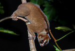 Slow Loris (Nycticebus coucang) actively foraging in lowland rainforest at night. Danum Valley, Sabah, Borneo.