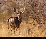 Mule Deer Doe, Bosque del Apache Wildlife Refuge, New Mexico