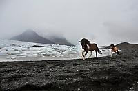 Iceland, South Iceland, Su?urland, J?kuls?rl?n, J?kuls?rl?n, Icelandic horses running along the beach by the Breioamerkurjokull icebergs