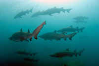 Sand Tiger Sharks (Carcharias taurus) on the wreck of the Caribsea, a freighter sunk in WWII by a German submarine, in the Outer Banks of North Carolina, USA, Atlantic Ocean
