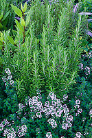 Herb garden Rosmarinus rosemary and thymus in bloom thymes, growing together in planting combination