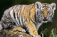 Bengal Tiger cub (Panther tigris)