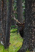Bull elk peeking round the trees. Jasper National Park Alberta Canada
