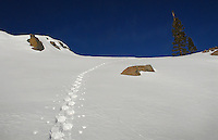 Snowshoe tracks (Carson Pass)