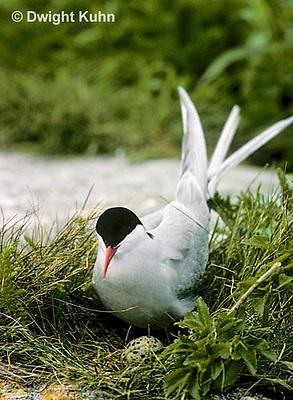 MC57-012z  Arctic Tern - adult at nest, incubating - Machias Seal Island, Bay of Fundy - Sterna paradisaea