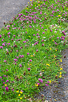 Clover and Wildflowers in Median of Country Road Heading to Lanercost Priory, Cumbria, England, UK.