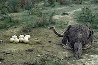 Allevamento. Breeding.Struzzi.Ostriches......