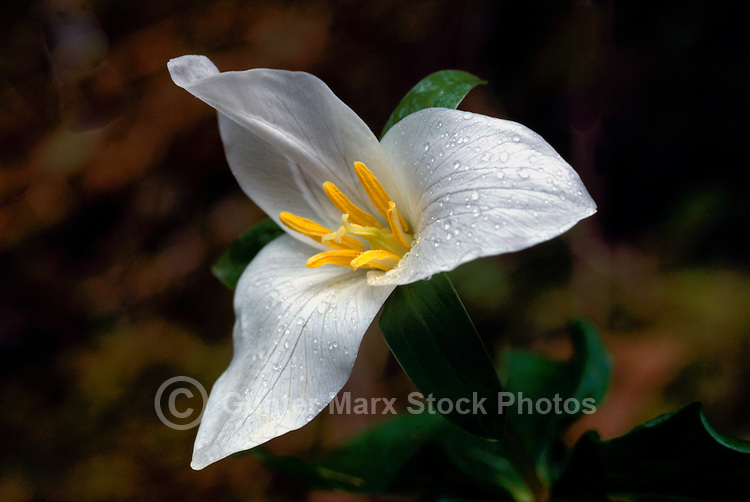 White Western Trillium (Trillium ovatum) aka Wakerobin / Wake Robin blooming in West Coast Forest, Spring
