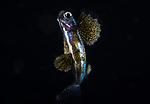 Flying fish larva,Cheilopogon exsiliens,  Black Water Diving; Jellyfish; Plankton; larval crustaceans; larval fish; marine behavior; pelagic creatures; pelagic larval marine life; plankton creatures; underwater marine life; vertical migration marine creatures