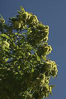 Chataigne sur l'arbre, fraiche.