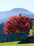 Austria, Tyrol, Kaiserwinkl, maple tree in autumn, red leaves