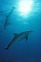 bottlenose dolphin, Tursiops truncatus, Maldives, Indian Ocean