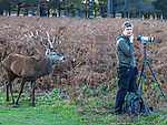 """Oh deer..... Its beHIND you!!<br /> <br /> A photographer is blissfully unaware of a magnificent stag just feet away from him while he is engross in taking photos in the distance.  <br /> <br /> Roger Clark, 75,  who took these images, spent his last day before the second national lockdown with his wife in Bushy Park, London on Wednesday.<br /> <br /> Both keen wildlife photographers, Roger said, """"We hadn't covered the Red Deer breeding season this year and with rutting continuing we through we would try our luck.""""<br /> <br /> """"We spotted a man with a camera  mounted on a tripod intently focussed on some deer activity in the ferns infront of him unaware of the large animal behind him. """"<br /> <br /> """"Given the angle I was positioned it  looked like the stag was nuzzled up to pick a pocket from his jeans  so I took a photo as it looked comical but quite bizarre that a wild animal would be so close without being noticed.""""<br /> <br /> """"A few seconds later the Deer backed off and with those large  beautiful shiny eyes seemed to look at the photographer and say  'your model is right behind you…. am I not good enough for you?'""""<br /> <br /> """"He never did realise the opportunity he missed and the Red Deer and I collectively gave and wandered off in different directions.""""<br /> <br /> Please byline: Roger Clark/Solent News<br /> <br /> © Roger Clark/Solent News & Photo Agency<br /> UK +44 (0) 2380 458800"""