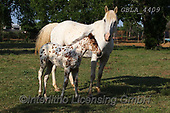 Bob, ANIMALS, REALISTISCHE TIERE, ANIMALES REALISTICOS, horses, photos+++++,GBLA4409,#a#, EVERYDAY