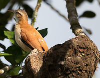 Pacific hornero at mud nest in tree