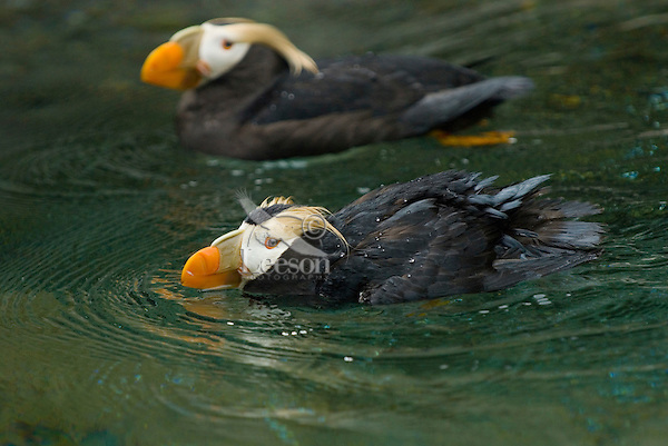 Tufted Puffins (Fratercula cirrhata).  Pacific Northwest.  May.