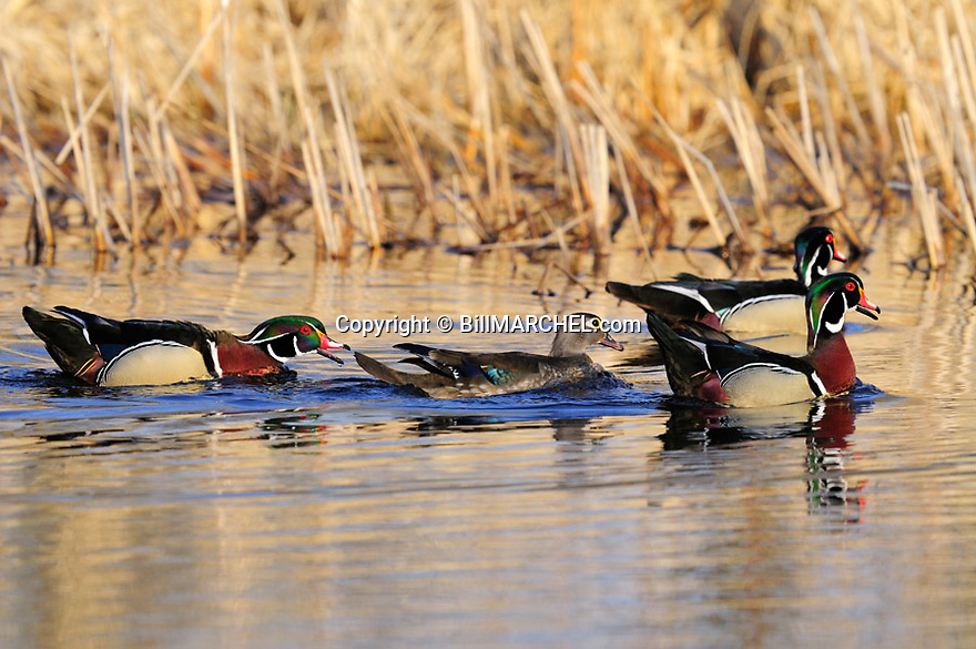00360-099.07 Wood Duck: One drake has bill open as it chases a pair of wood ducks.  Territory, defend, courtship, hunt, cattails.