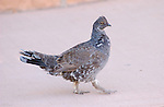 Blue Grouse Strutting Dusky Grouse Bryce Canyon National Park
