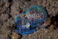 hummingbird bobtail squid, Euprymna berryi, aka Berry's bobtail squid, Komodo National Park, Lesser Sunda Islands, Indonesia, Pacific Ocean
