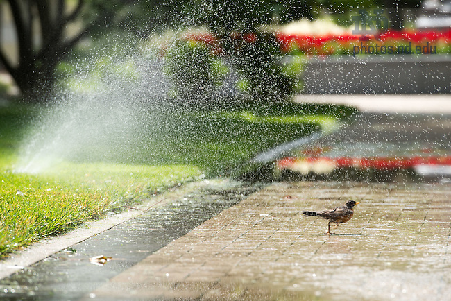 June 22, 2016; A robin turns a puddle into a bird bath on God Quad. (Photo by Matt Cashore/University of Notre Dame)