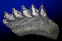 giant scissor-toothed shark, Edestus giganteus, tooth row fossil, about 300 million years old - Carboniferous period, from Southern Illinois, USA