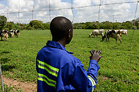 ZAMBIA, Mazabuka, medium-scale farm of Devlin Chilala, grazing cattle