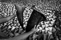 A trader holds up dried shark fins at a processing plant in Manta, Ecuador, 8 September 2012. Every morning, hundreds of shark bodies and thousands of shark fins are sold on the Pacific coast of Ecuador. Although the targeted shark fishing remains illegal, the presidential decree allows free trade of shark fins from accidental by-catch. However, most of the shark species fished in Ecuadorean waters are considered as ?vulnerable to extinction? by the World Conservation Union (IUCN). Although fishing sharks barely sustain the livelihoods of many poor fishermen on Ecuadorean at the end of the shark fins business chain in Hong Kong they are sold as the most expensive seafood item in the world. The shark fins are primarily exported to China where the shark's fin soup is believed to boost sexual potency and increase vitality. Rapid economic growth across Asia in recent years has dramatically increased demand for the shark fins and has put many shark species populations on the road to extinction.