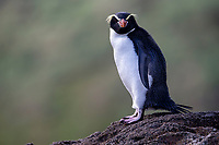 Snares Penguin (Eudyptes robustus) on the Snares Islands, New Zealand.