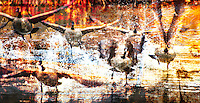 Fine Art Action Photograph of a flock of Canada geese taking off from the water. The colourful collage of reflections and splashing water harmonize with the action of this scene.