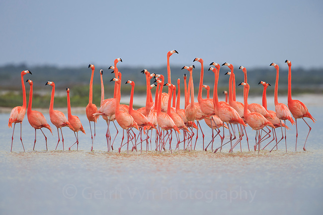 American Flamingos (Phoenicopterus ruber) perform elaborate group courtship<br /> displays like marching that help individuals<br /> assess and select potential partners for breeding. Rio Lagartos Biosphere Reserve, Yucutan, Mexico. February.