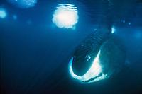 bowhead whale, Balaena mysticetus, north Baffin Island, Nunavut, Canada, Arctic