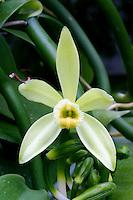 Echte Vanille, Gewürzvanille, Gewürz-Vanille, Bourbon-Vanille, Vanille-Orchidee, Vanilla planifolia, Flat-leaved Vanilla, Tahitian Vanilla, West Indian Vanilla, vanilla orchid
