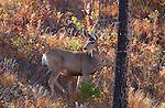 Mule Deer, Tower Junction, Yellowstone National Park, Wyoming