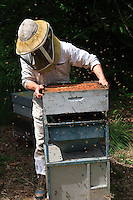 A beekeeper shakes a frame to gather the bees and form a swarm.